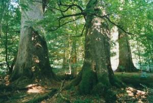 Árboles gigantes de la ruta Watzlik-Hain